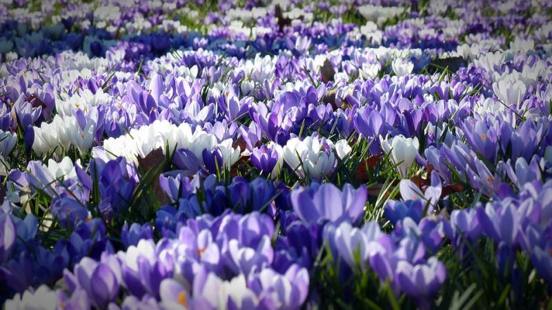 Krokus voorjaar