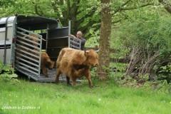 Schotse hooglanders in zuidhorn (2)
