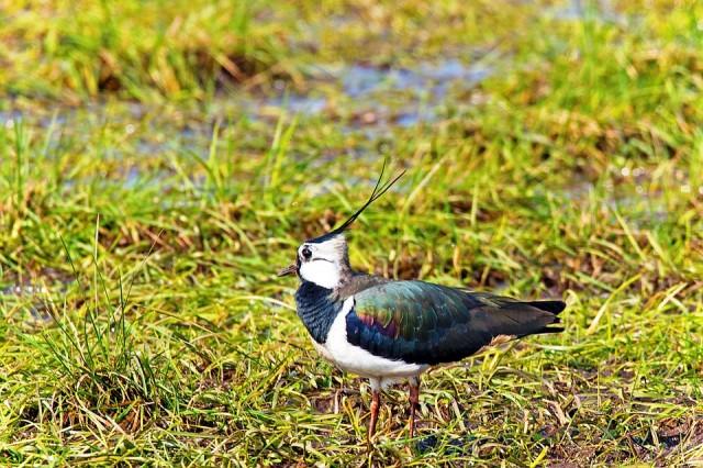Groningen koopt 60 hectare voor weidevogels bij Aduard