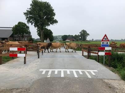 Koeien oversteekplaats