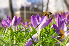 Krokus voorjaar infocus