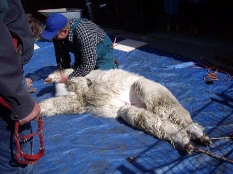 Alpacageschoren (1)