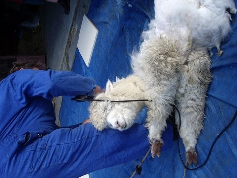 Alpacageschoren (3)