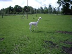 Alpacageschoren (5)
