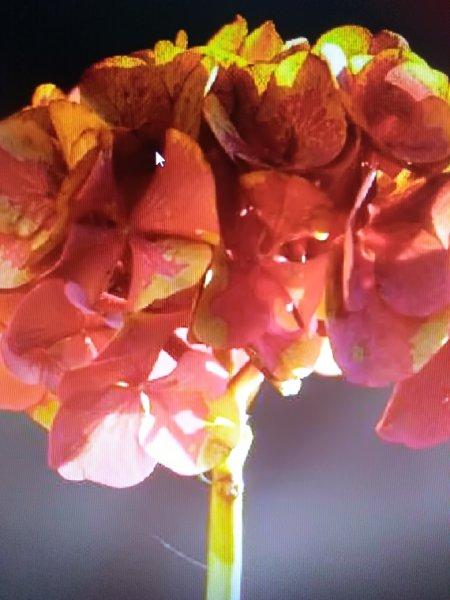 Hortensiabloem van henny