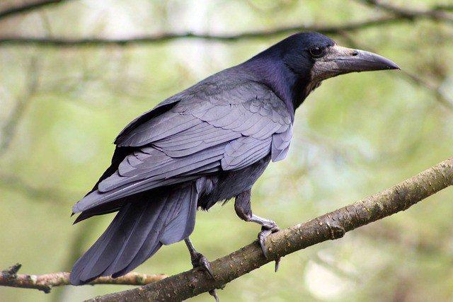 Vogel roek